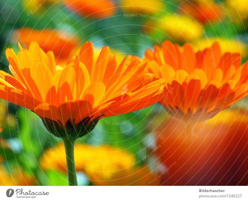Marigold Ringelblume Medikament Heilpflanzen Kissen-Primel Blütenblatt marigold Blumenwiese Alternativmedizin orange Pflanze Sommer Blühend Sommerblumen