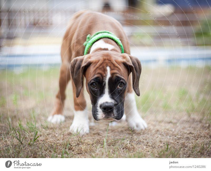 neugiernase. Hund Tier Tierjunges Traurigkeit Wiese Garten träumen beobachten niedlich Neugier entdecken Ohr Fell Duft Haustier Fürsorge