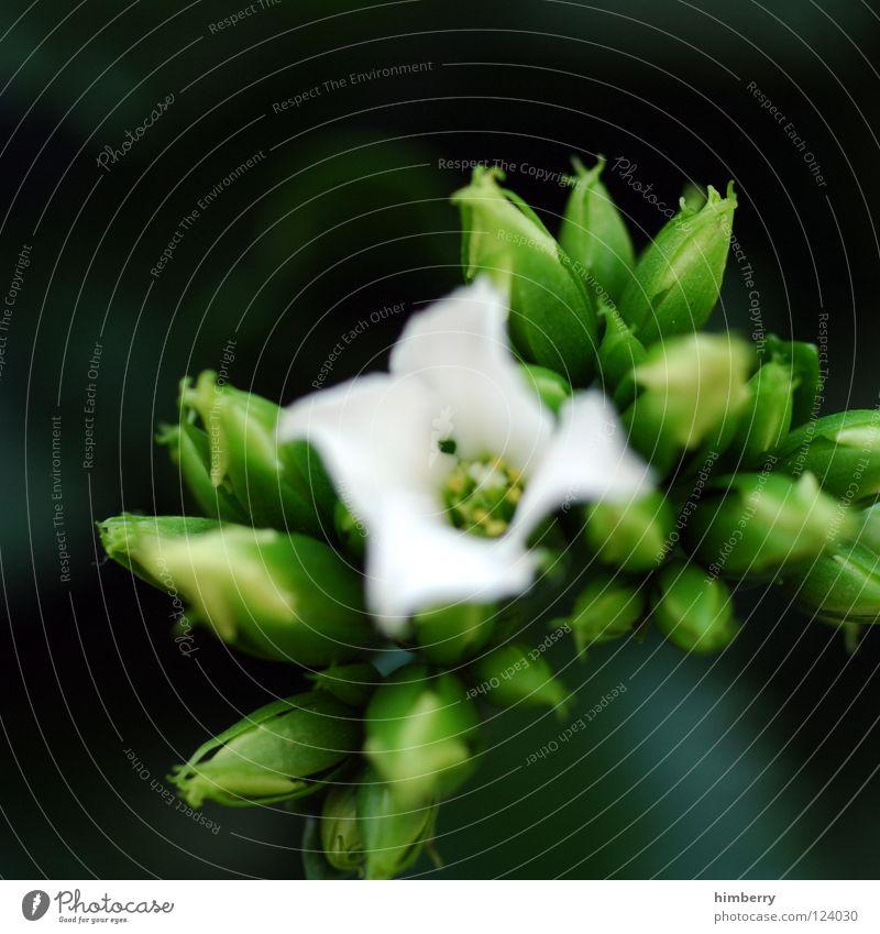 knospencase Blume Blüte weiß Blütenblatt Botanik Sommer Frühling frisch Wachstum Pflanze Hintergrundbild Gruß Makroaufnahme Nahaufnahme flower Detailaufnahme