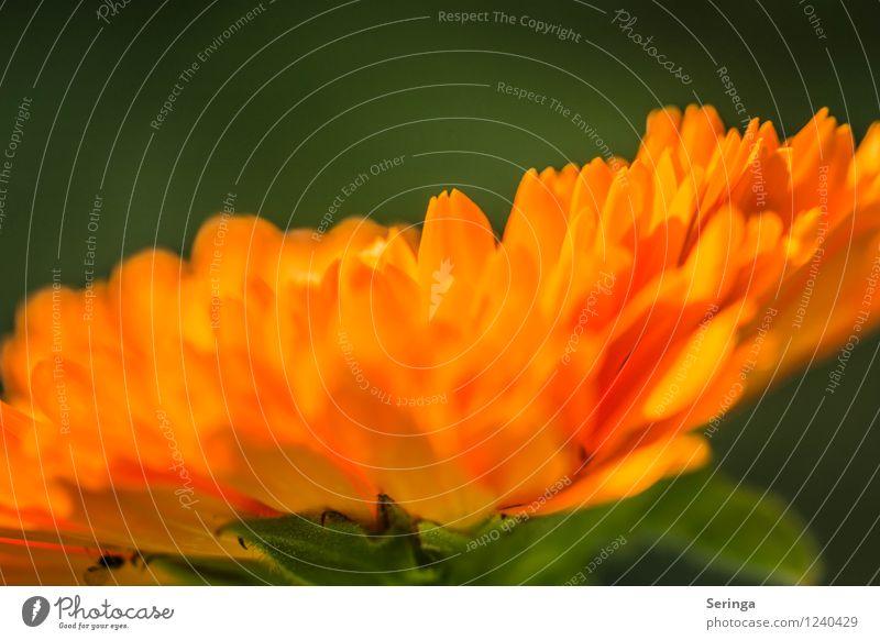 Sonnenschirm ( Ringelblume 2 ) Natur Pflanze Sommer Blume Blüte Garten beobachten Blühend Duft Farbfoto Außenaufnahme Nahaufnahme Detailaufnahme Makroaufnahme