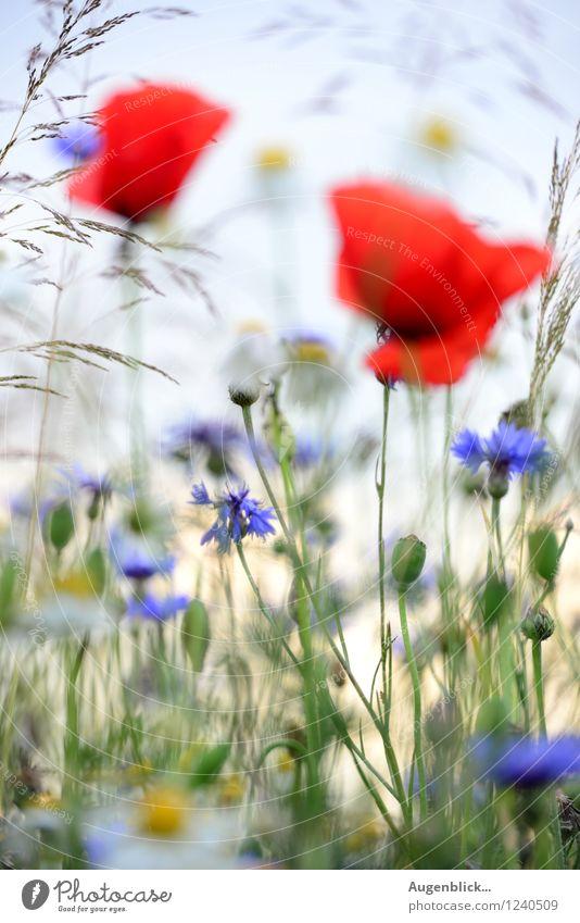 ...oO M Oo... Kind Baby Mädchen Junge Eltern Erwachsene Mutter Vater Freundschaft Natur Himmel Sommer Blume Mohn Kornblume Kamille Gras Wiese Feld Blühend Duft