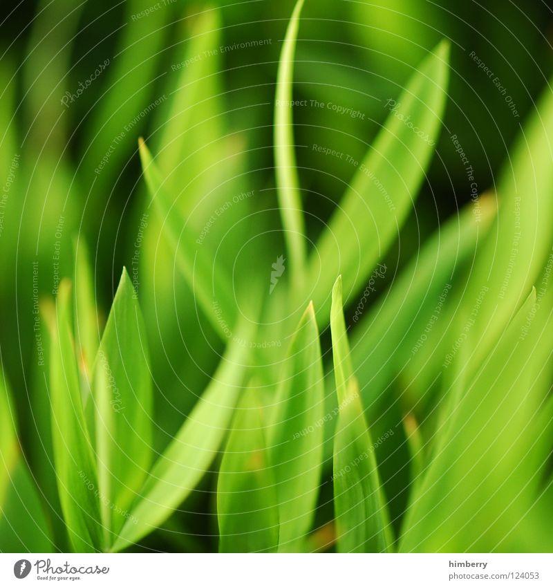 grasgeflüster Natur Ferien & Urlaub & Reisen grün Pflanze Strand Landschaft Gras Park Hintergrundbild Wachstum frisch Urwald Botanik Florida Bahamas