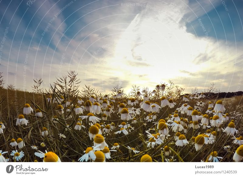 #200 Blumenfeld Umwelt Natur Landschaft Pflanze Erde Himmel Wolken Horizont Sonne Sonnenaufgang Sonnenuntergang Sommer Schönes Wetter Gras Sträucher Margerite