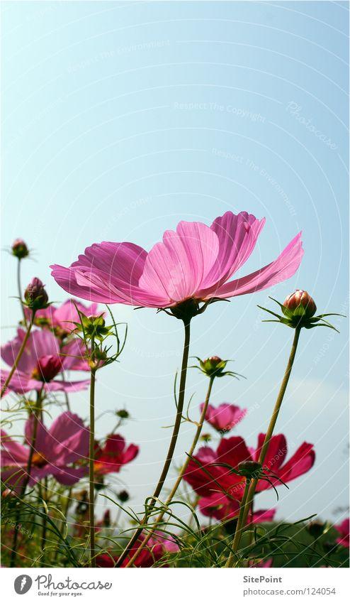 Cosmea Schmuckkörbchen Blume Himmel rosa zart grün Blüte Sommer flower sky sanft