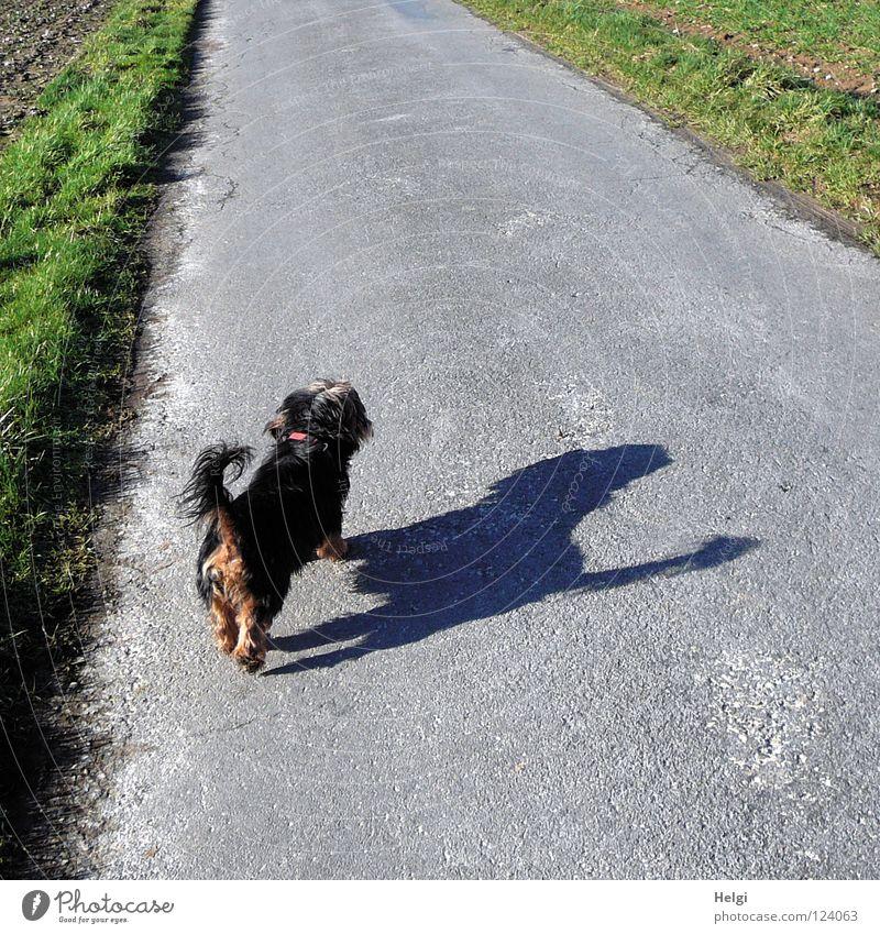 Rückansicht eines kleinen schwarzen Hundes  mit großem Schatten auf einer Straße Mischling Dackel Yorkshire-Terrier langhaarig Fell Schnauze Hundeschnauze