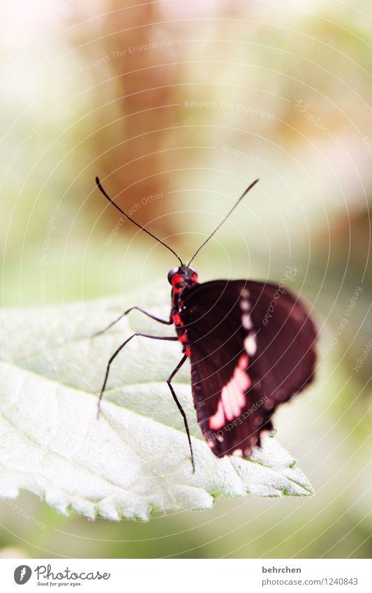 filigran Frühling Sommer Herbst Pflanze Sträucher Blatt Schmetterling Flügel beobachten fliegen sitzen stehen warten außergewöhnlich exotisch schön grün rot