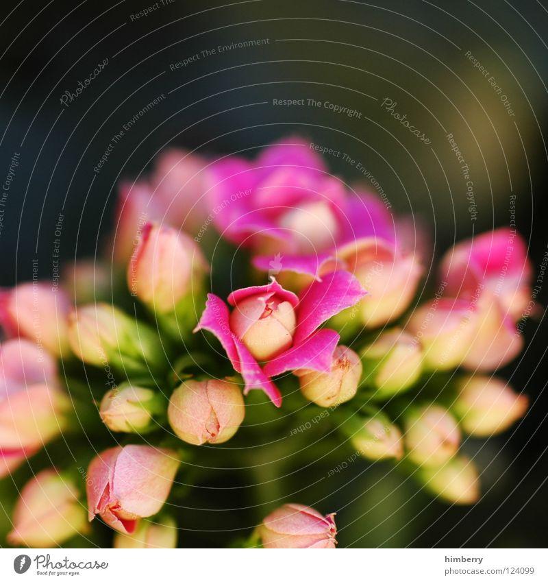 pink panther Blume Blüte weiß Blütenblatt Botanik Sommer Frühling frisch Wachstum Pflanze rosa Hintergrundbild Gruß Makroaufnahme flower Detailaufnahme