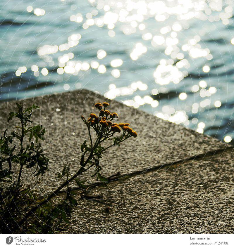 Mauerblümchen Anlegestelle Mole Steinplatten Fuge Meer Physik glänzend schimmern Pflanze Blume Treue Schüchternheit dezent bescheiden Ausdauer geduldig