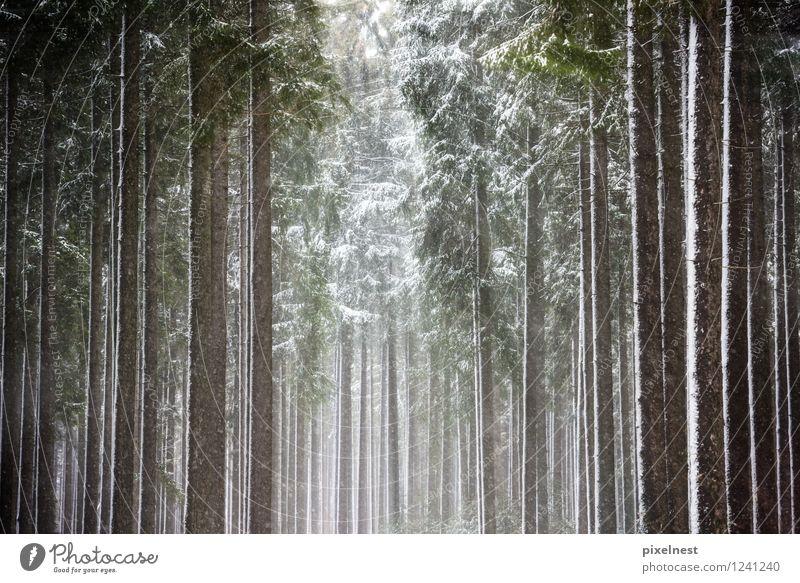 Winterwald Sonne Schnee Natur Sonnenlicht Eis Frost Schneefall Baum Fichte Fichtenwald Wald Holz kalt grün schwarz weiß Einsamkeit ruhig Baumstamm Kiefer