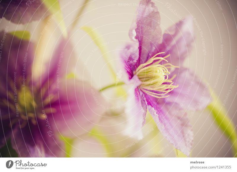 Clematis Stil Design Natur Sommer Schönes Wetter Blume Blüte Topfpflanze Blütenblatt Blüteninnenleben Blühend Erholung hängen Lächeln Wachstum einfach
