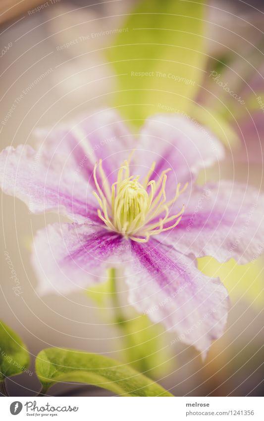 rosa-lila-grün elegant Stil Natur Pflanze Sommer Schönes Wetter Blume Blatt Blüte Topfpflanze Clematis Blütenstempel Blütenblätter Park Blühend Erholung Lächeln