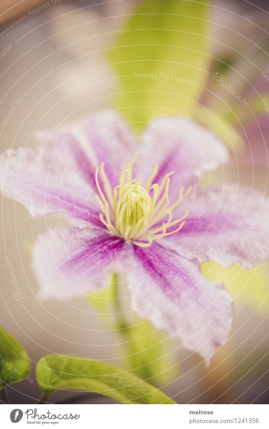 rosa-lila-grün Natur Pflanze grün schön Sommer Erholung Blume Blatt Blüte Stil braun Stimmung rosa Park träumen leuchten