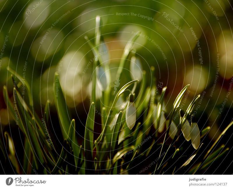 Frühling Frühblüher Schneeglöckchen Wiese grün zart Blume Blüte Pflanze Umwelt weich fein Gegenlicht Farbe milchblume hübsches februar-mädchen