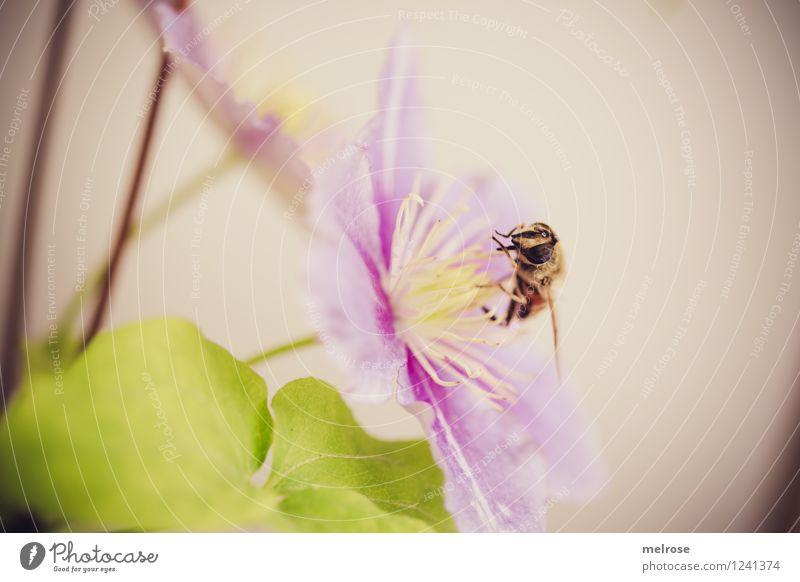 Quereinsteiger elegant Stil Natur Pflanze Sommer Schönes Wetter Blume Blatt Blüte Topfpflanze Clematis Blütenstiel Garten Tier Nutztier Fliege Flügel