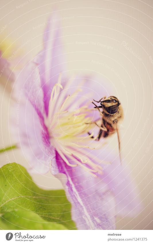 leckaaaaaaaaaa elegant Stil Natur Sommer Blume Blatt Blüte Clematis Hahnenfußgewächse Blütenstempel Garten Tier Nutztier Fliege Flügel Schwebefliege 1