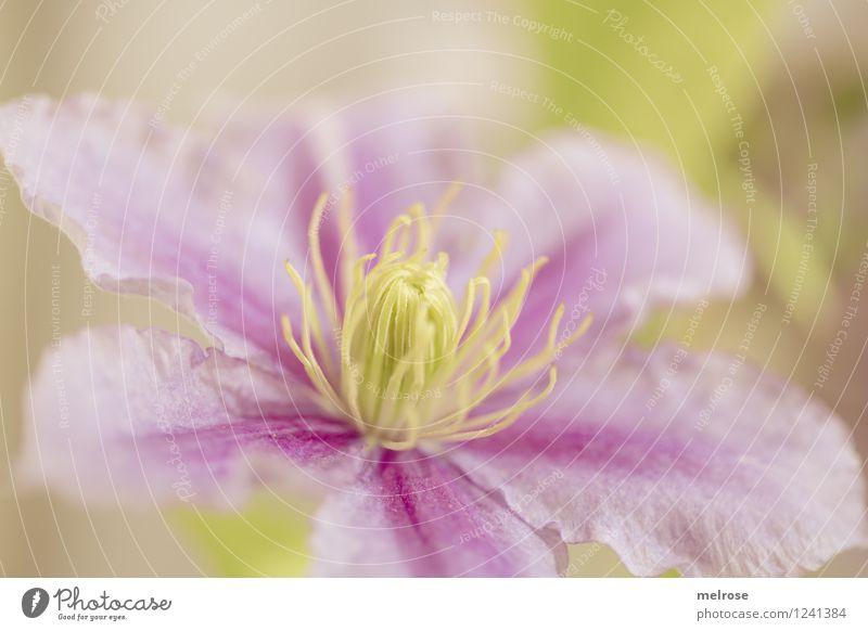 Clematis II Natur Pflanze grün schön Sommer Erholung Blume ruhig gelb Blüte Stil Garten Stimmung rosa träumen Zufriedenheit