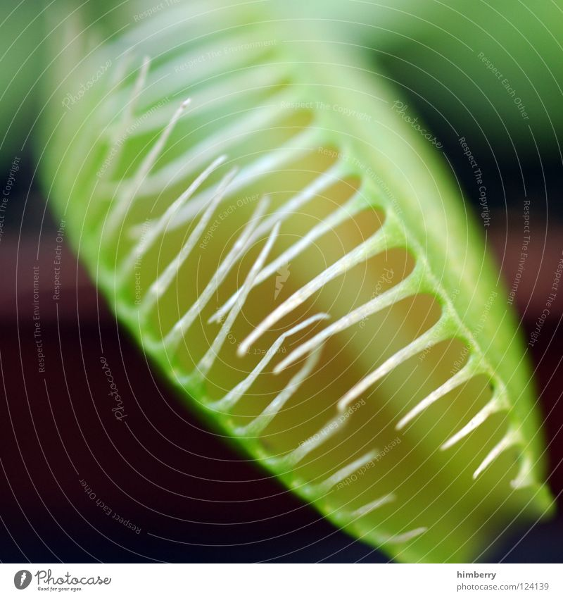 billiger zahnersatz Fliegenfalle Gärtner Park Botanik Pflanze Fleischfresser Ernährung Topf Topfpflanze Makroaufnahme Nahaufnahme maul und klauen seuche fliegen
