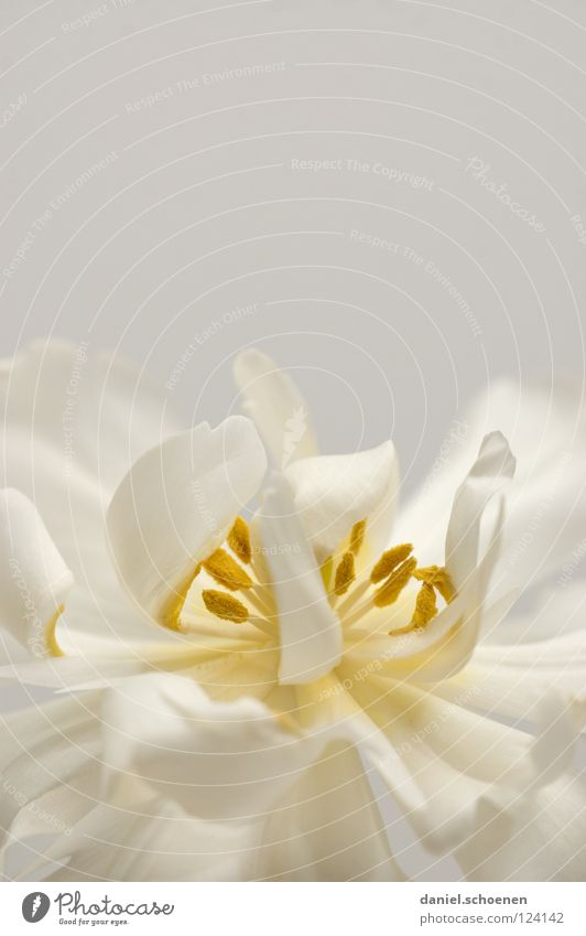 Tulpe (fast monochrom) Frühling Blüte Blume Hintergrundbild Pastellton weiß gelb zart Blütenblatt abstrakt schön grau Makroaufnahme Nahaufnahme Detailaufnahme