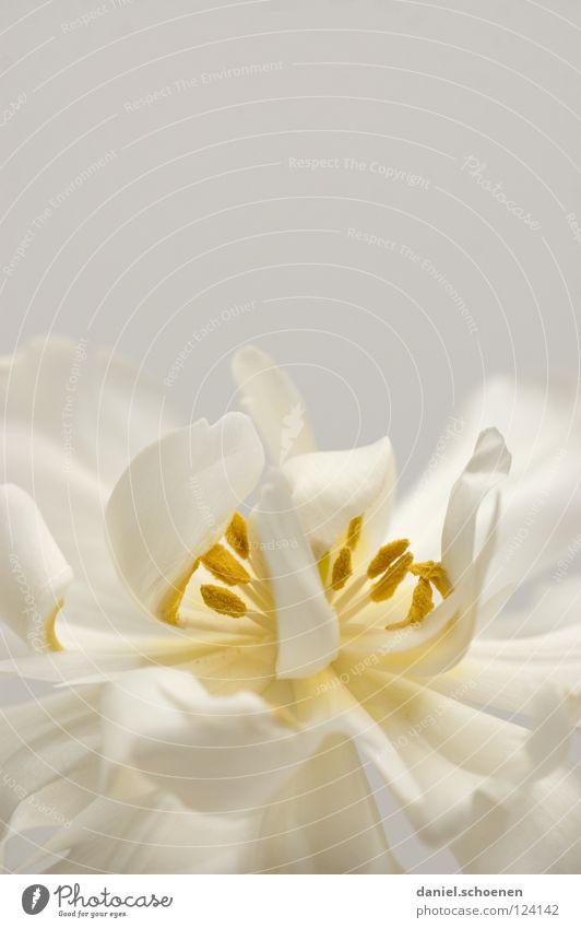 Tulpe (fast monochrom) Natur weiß schön Blume gelb Frühling grau Blüte hell Hintergrundbild zart abstrakt Blütenblatt Pastellton