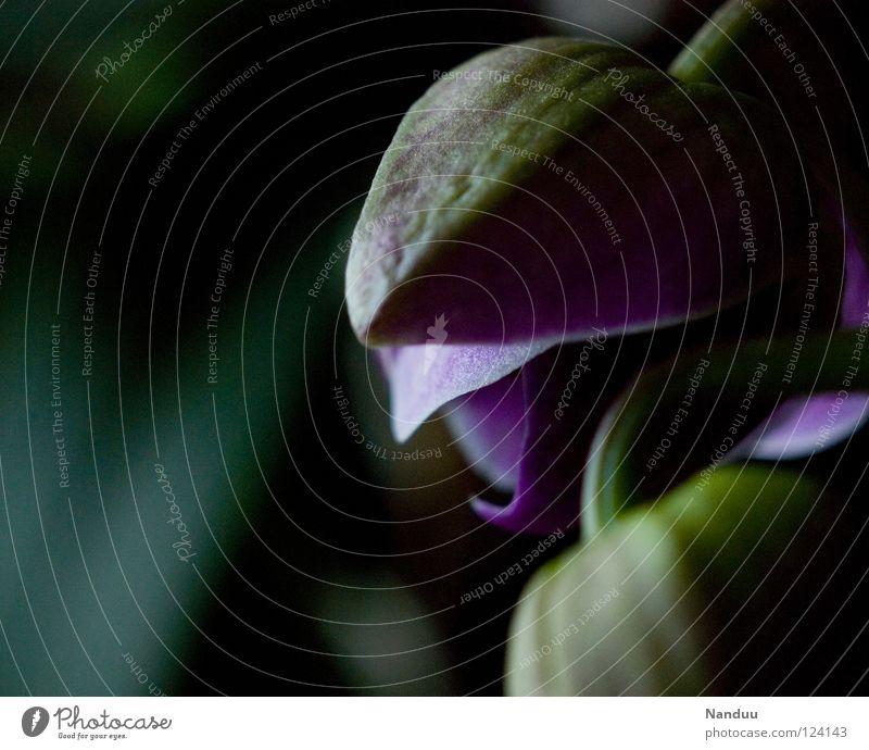 nochmal hinlegen Pflanze Blume dunkel Gefühle Frühling Blüte geschlossen Zukunft Blühend Kultur Leidenschaft Blütenknospen Ackerbau Erwartung Orchidee Geburt
