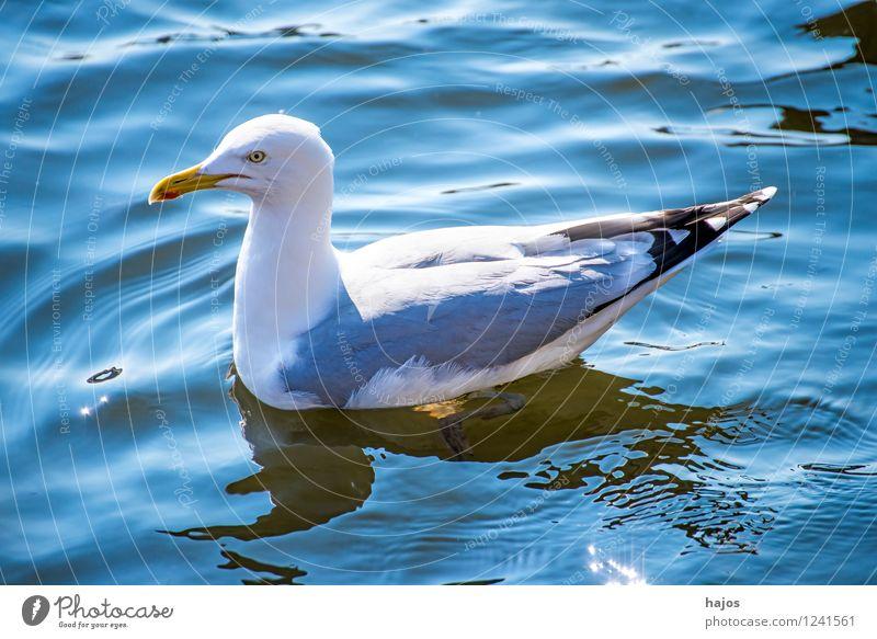 Silbermöwe in der Ostsee Natur Tier Wasser Vogel blau Larus argentatus Pontoppidan Möwe wild Seevogel Meeresfauna Widltier schwimmt Schwimmsport Sonnenstrahlen