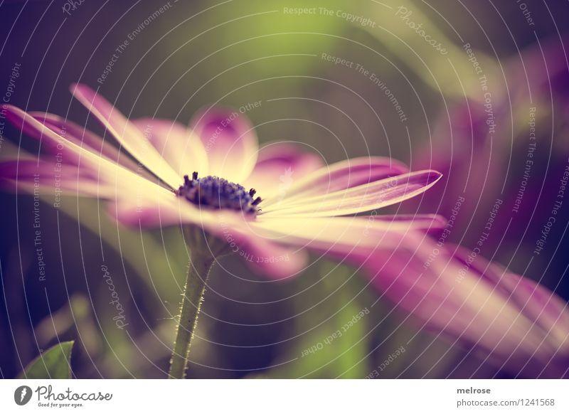 ab ins WE elegant Stil Natur Pflanze Sommer Schönes Wetter Blume Gras Blatt Blüte Wildpflanze Topfpflanze Margerite Blütenblatt Blütenstempel Blütenstiel Garten