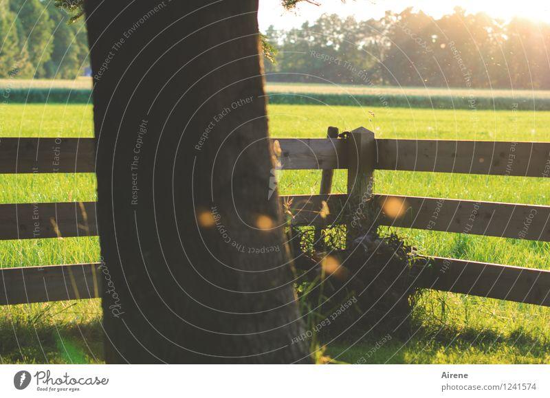 Mückentanz Garten fliegen braun gold grün Abenddämmerung Stechmücke Zaun Gartenzaun leuchten Leuchtkäfer Wiese Baumstamm Farbfoto Außenaufnahme Menschenleer