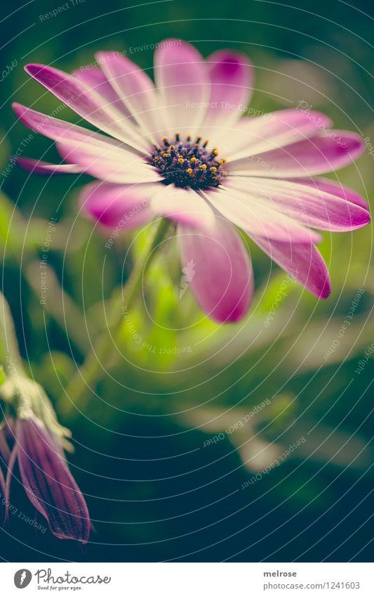 Quiz elegant Stil Natur Pflanze Sommer Schönes Wetter Blume Gras Blatt Blüte Topfpflanze Margeritenart Blütenstempel Blütenstiel Blühend Erholung Lächeln