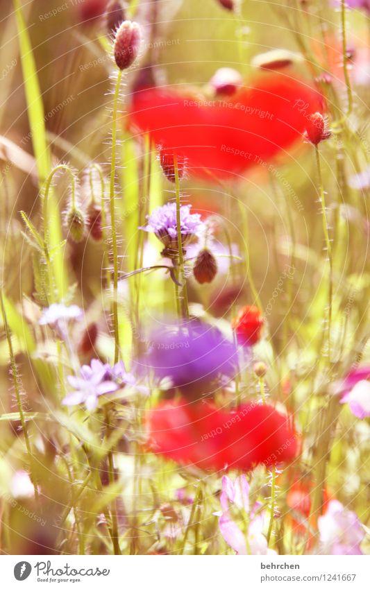 mo(h)ntag ist unscharf Natur Pflanze Frühling Sommer Schönes Wetter Blume Gras Blatt Blüte Wildpflanze Mohn Garten Park Wiese Blühend Duft verblüht Wachstum