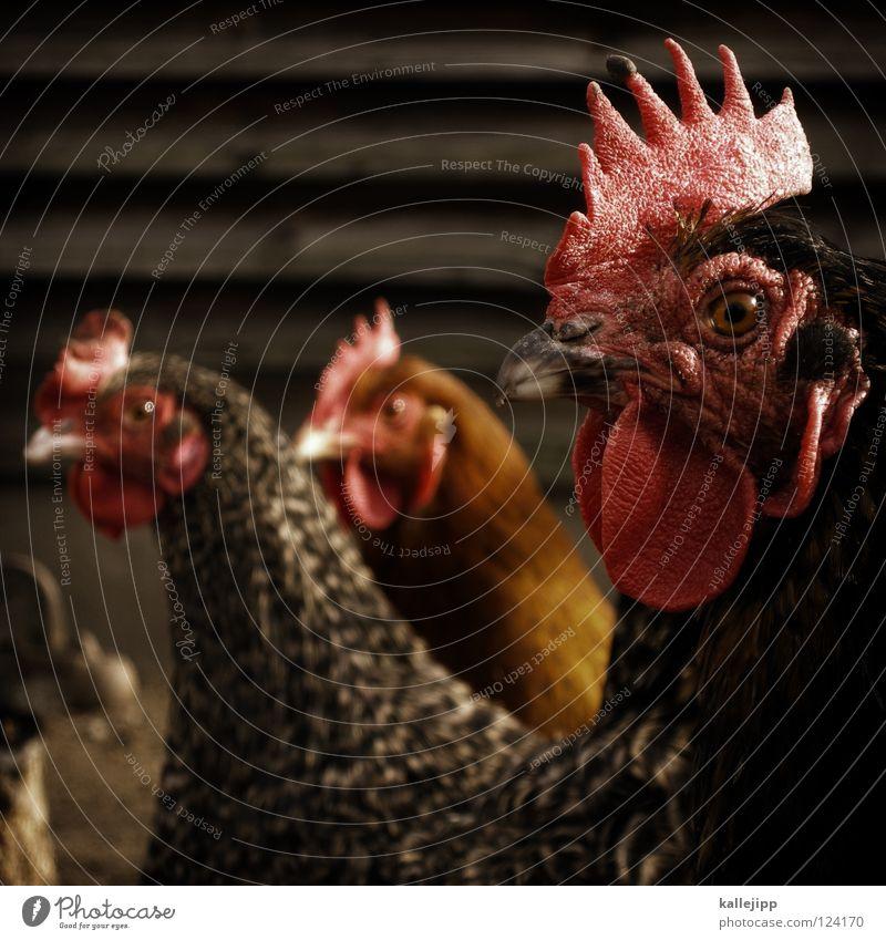 jedes legt noch schnell ein Ei, Und dann kommt der Tod herbei Natur Tier Auge Vogel fliegen maskulin frei Ernährung Feder Flügel Landwirtschaft Bauernhof Zoo Korn lecker Ei