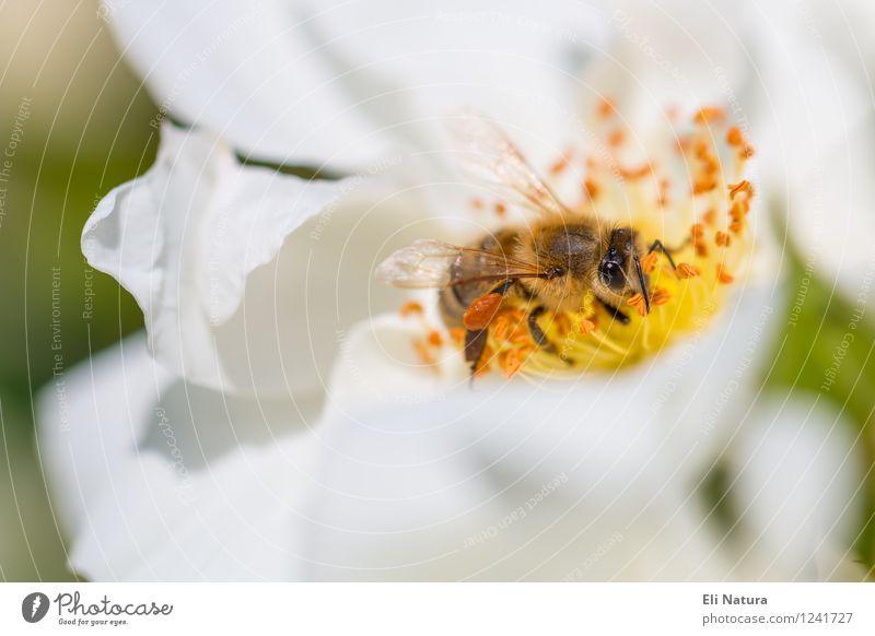 Blumenbiene Natur Pflanze grün schön Sommer weiß Tier schwarz gelb Frühling Blüte Wiese Garten fliegen braun