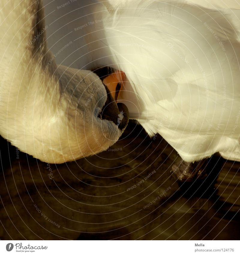 Waschtag Schwan Schnabel Feder stehen Reinigen Vogel Wasser Detailaufnahme Fuß über Kopf Geschwindigkeit Hals Schwanenhals