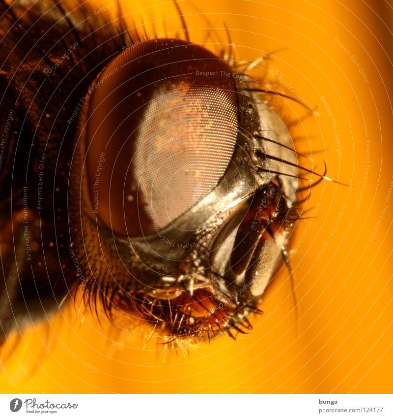 Facettenreich Auge Tier Fliege Insekt nah Wachsamkeit Intuition Facettenauge Mandibel