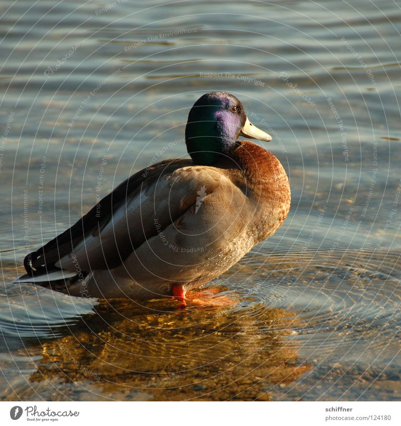 Entenbrust, süß-sauer Erpel Stockente Hausente Vogel Macho Angeben glänzend Sonnenbad Schnabel See Teich Seepark Anas platyrhyncho Wasservogel