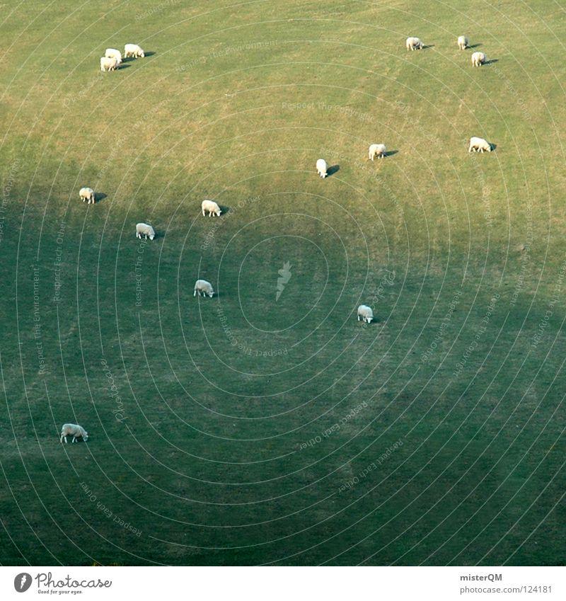 cheap sheep. Ferien & Urlaub & Reisen grün weiß ruhig Tier Ferne Gras Hintergrundbild Kunst grau Lebensmittel maskulin mehrere Ernährung Rasen Landwirtschaft