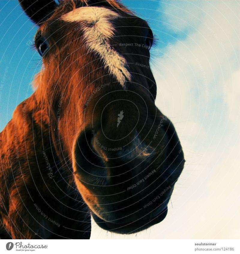 noch eine digge Nase... Himmel weiß blau Tier Freiheit grau braun Pferd Ohr Säugetier Cowboy Verzerrung Mähne Pferdegangart Gelbstich