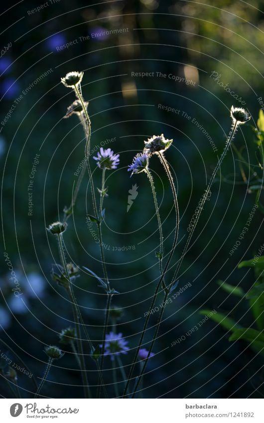 magic garden Natur Landschaft Pflanze Sommer Blume Gras Blüte Garten leuchten dunkel hell blau grün Stimmung Farbe Wachstum Wandel & Veränderung Gedeckte Farben