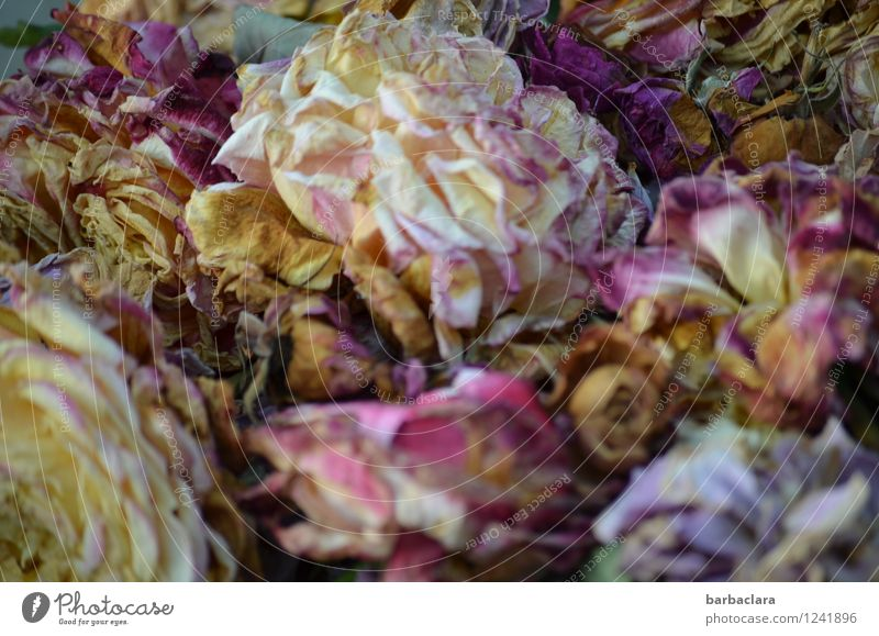 verblühte Schönheit Pflanze Blume Rose Dekoration & Verzierung Blumenstrauß Duft trocken mehrfarbig Gefühle Romantik ästhetisch Farbe Natur Sinnesorgane