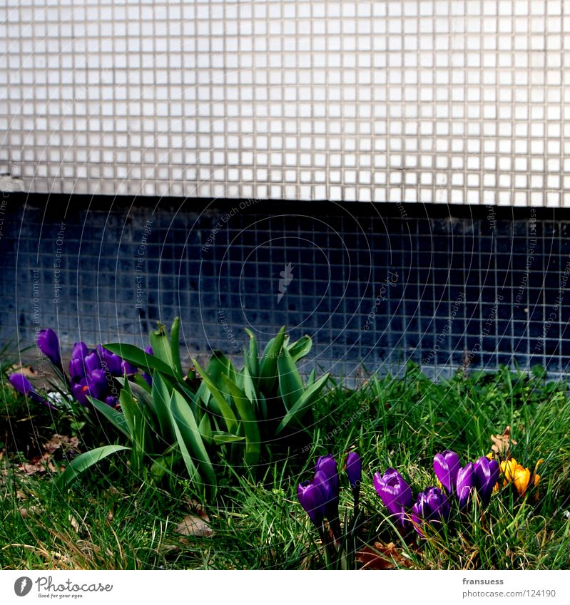 urban spring Blume Krokusse violett gelb Frühblüher Stein Mauer schwarz weiß Wiese Gras grün Frühling U-Bahn krokuss Mosaik Blühend bayrischer platz