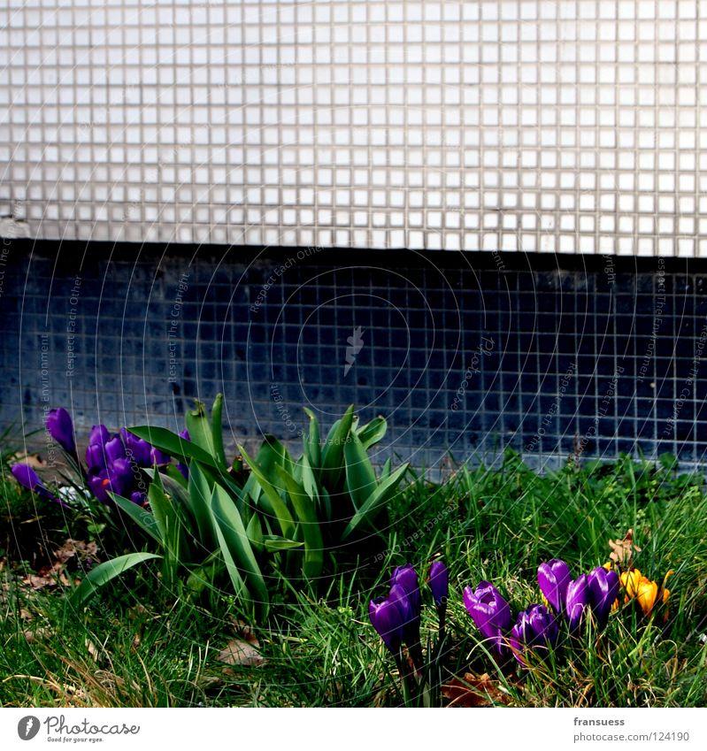 urban spring weiß Blume grün schwarz gelb Wiese Gras Frühling Stein Mauer violett Blühend U-Bahn Krokusse Mosaik Frühblüher