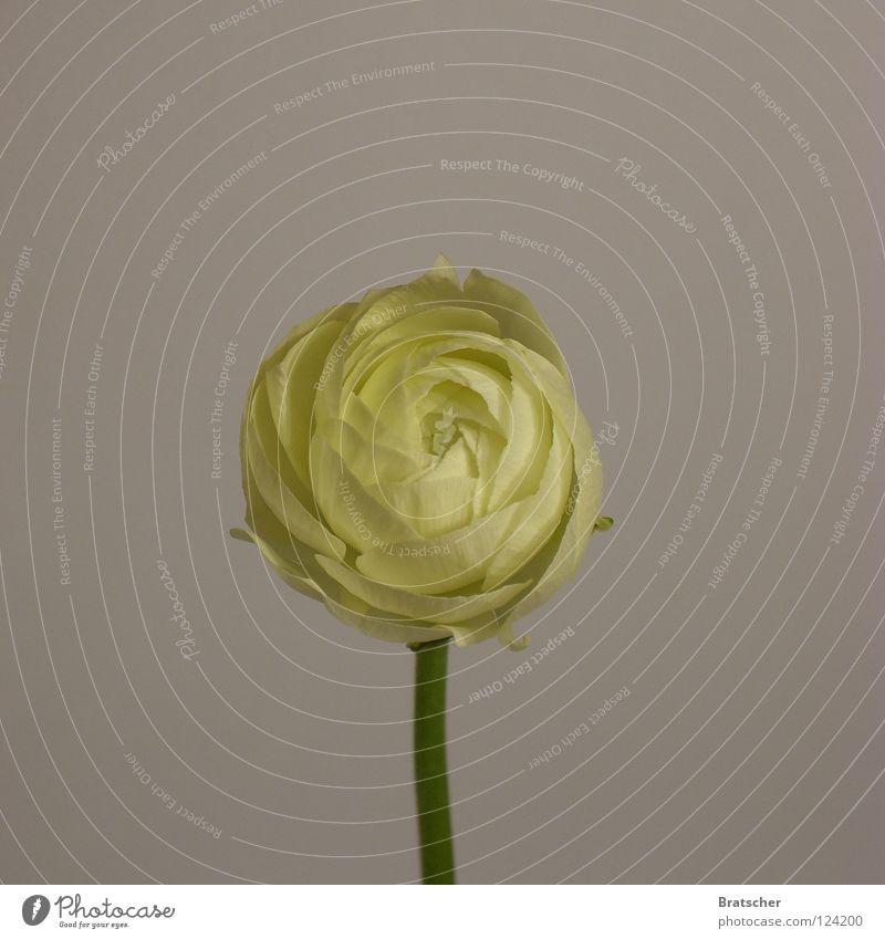 Weiteres Zubehör schön Blume Freude gelb Traurigkeit Stil Kunst ästhetisch einfach Vergänglichkeit Trauer Stengel Blütenknospen Verzweiflung Erinnerung früher