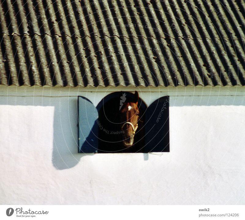 Moin Tier Mauer Wand Fassade Fenster Dach Stall Pferdestall 1 Blick Neugier weiß Gruß Wellblech Pferdezucht Säugetier Schädel Mitte Überraschung gegenüber