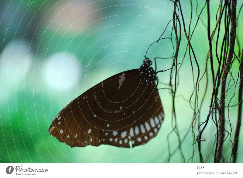 Profil Natur weiß schön schwarz sitzen Streifen Flügel Punkt zart Insekt Schmetterling leicht fein zierlich