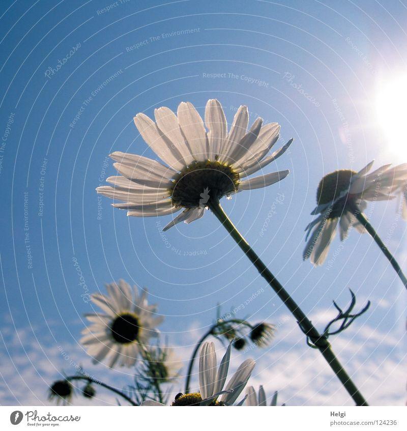 blühende Margariten im Sonnenlicht vor blauem Himmel Blume Blüte Kamille Kamillenblüten Blühend Stengel Blütenblatt Froschperspektive Wachstum Wolken Wiese