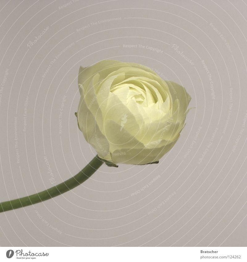 Altarbild III schön weiß Blume Blüte Religion & Glaube Feste & Feiern einfach Wunsch Blumenstrauß Ernte Blütenknospen Blütenblatt festlich edel Begierde Braut
