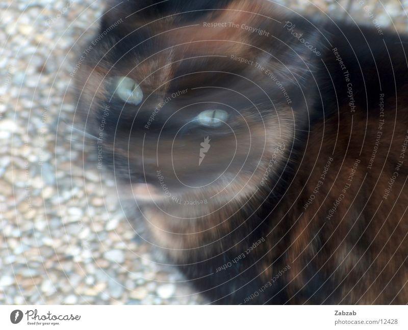 kopfdrehkatze Haus schwarz Auge Tier Bewegung Stein Katze braun Nase Ohr Kies Filmproduktion Filmindustrie Dreharbeit