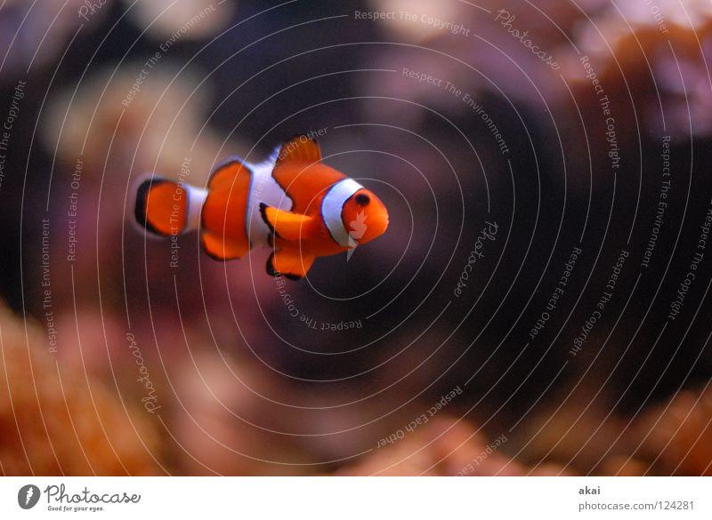 Little Clown Aquarium Clownfisch Findet Nemo dunkel krumm Bewegungsunschärfe Unschärfe Fisch mundenhof Freiburg im Breisgau usertreffen akai joerg jörg