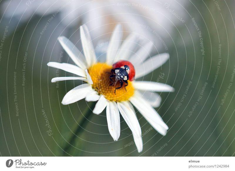 Motschekiebchen auf Kamille Natur Pflanze schön Sommer weiß rot Tier Umwelt gelb Blüte Wiese Glück leuchten Wildtier Blühend Lebensfreude