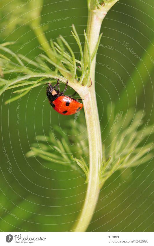 green line Natur Pflanze Sommer Kamillenblüten Wiese Wildtier Käfer Marienkäfer Siebenpunkt-Marienkäfer 1 Tier Glücksbringer Bewegung festhalten krabbeln