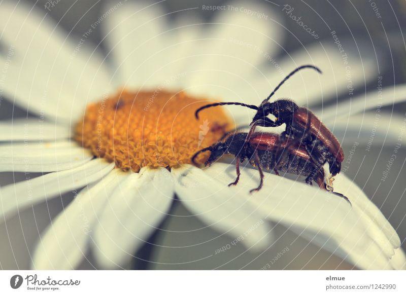Arterhaltung Sommer Schönes Wetter Blüte Kamillenblüten Wiese Käfer weichkäfer 2 Tier Tierpaar Fortpflanzung Sex Erotik Zusammensein natürlich braun gelb weiß